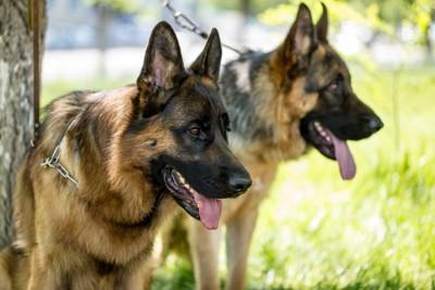 舌を出している2匹の犬