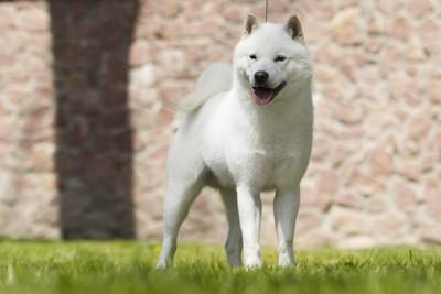 芝生に立つ北海道犬