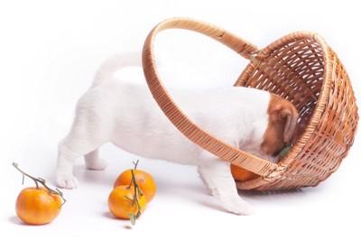 カゴの中の食べ物をあさる犬