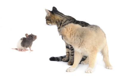 見つめ合うネズミと猫と犬