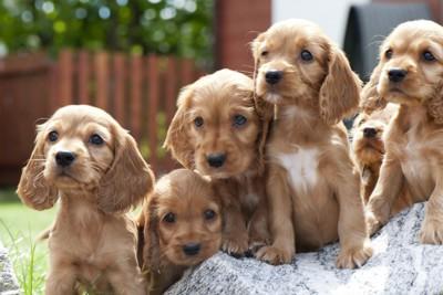 コッカースパニエルの子犬たち