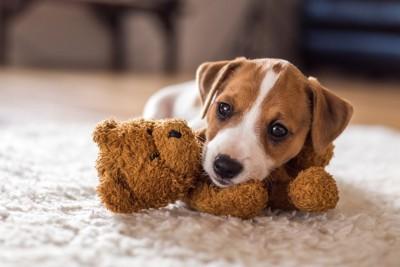 ぬいぐるみを抱えて伏せる子犬