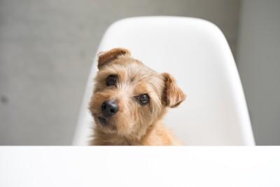 椅子に座り首をかしげる犬