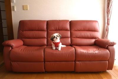 大きなソファーの上に座る小型犬