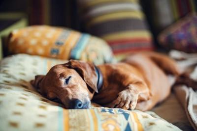 クッションに横たわる犬