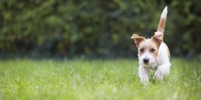 尻尾を立てて走る犬