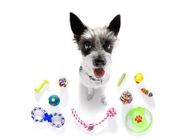 おもちゃに囲まれて座るテリア系の犬