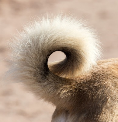 犬の巻き尾