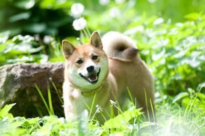 草むらからこちらを見る柴犬