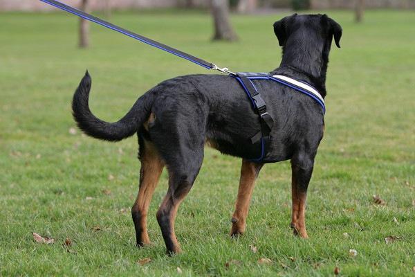 33032772  バディーベルトをつけた大型犬