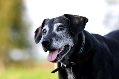 嬉しそうな顔をした白髪のある黒い犬
