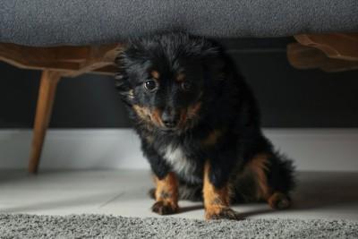 家具の下に身を隠す犬