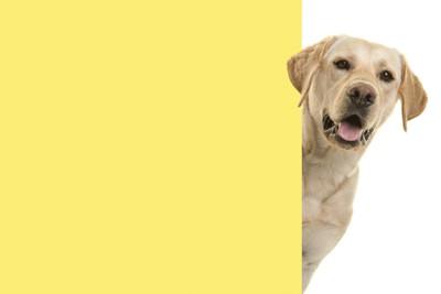 黄色い壁から顔を出すラブラドール