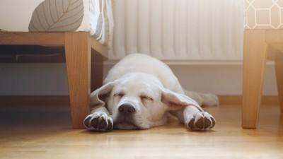 床で伏せて寝るラブラドール