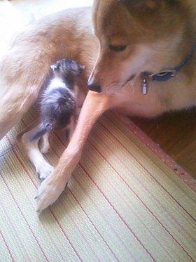 キジ猫にお乳を与える犬