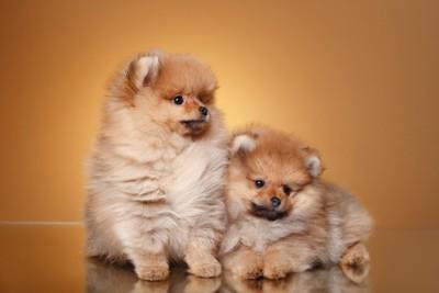 ポメラニアンの子犬2匹
