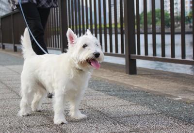 散歩をする白い犬