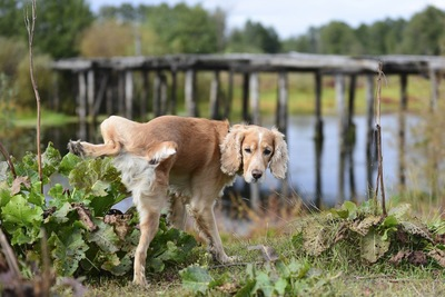 後ろ足を上げる犬