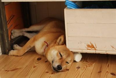 狭い場所で眠る柴犬