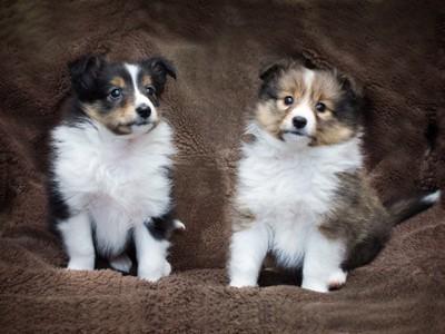 シェルティの子犬二匹