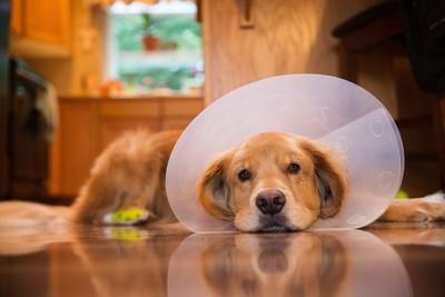 エリザベスカラーをつけた犬