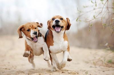 並んで走っている2頭の犬