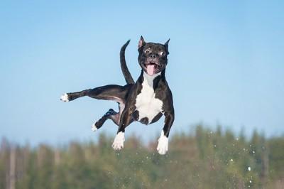 大きくジャンプしている犬