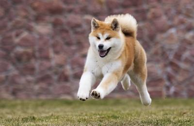 芝生を走る秋田犬