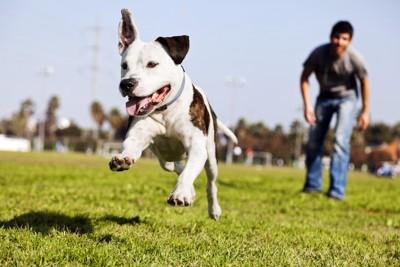 うれしそうに芝生を走るピットブル