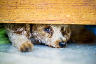 ドアの向こうに隠れて見つめるトイ・プードル
