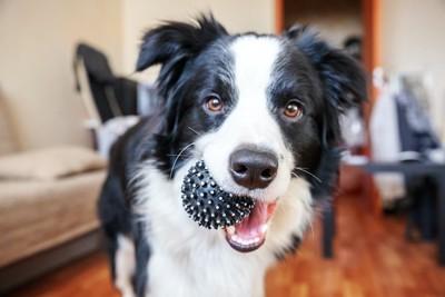 室内でおもちゃをくわえている犬