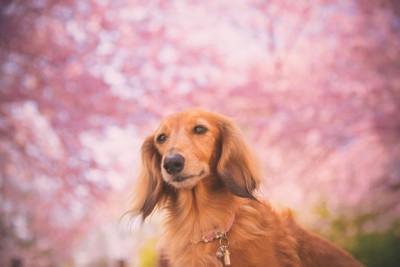 桜とミニチュアダックスフンド