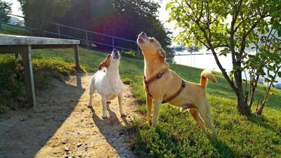 遠吠えする2匹の犬