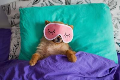 アイマスクをしてベッドで寝ている犬