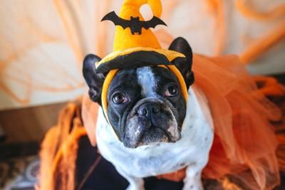 ハロウィンのコスチュームを着た犬