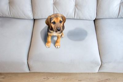 ソファーにオシッコをした犬