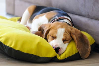 黄色いベッドで眠るビーグル