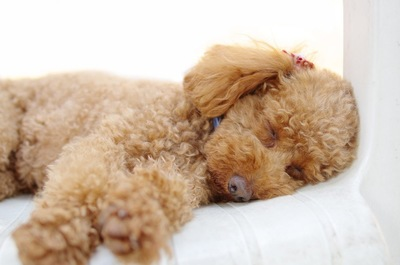 横になって眠っているトイプードル