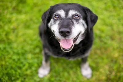幸せな表情で見上げるシニア犬