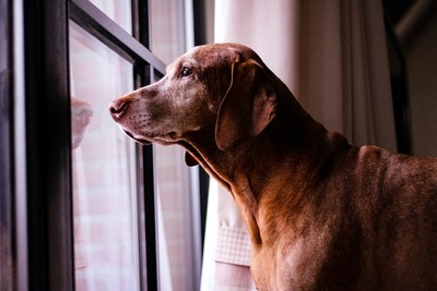 窓の外を見つめる茶色の犬