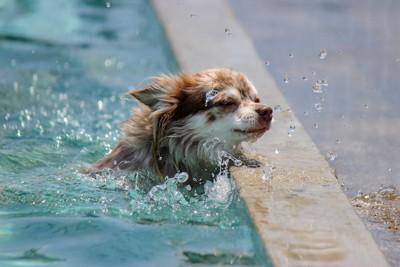 プールで溺れているようなチワワ