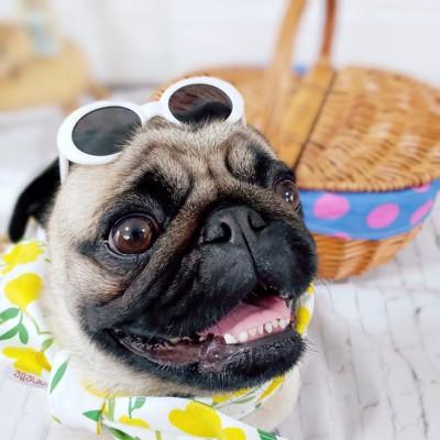 夏気分のパグ