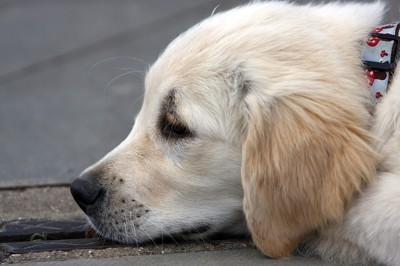 寝ている犬の横顔