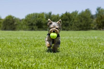 ボールをくわえて走るヨークシャーテリア