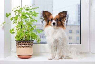 観葉植物の隣に座るパピヨン