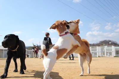 ドッグランでじゃれ合う柴犬とジャックラッセルテリア