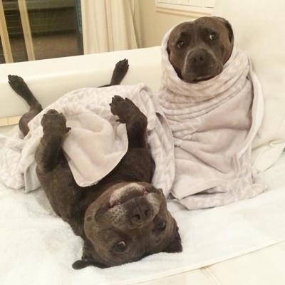 タオルにくるまれ寝る犬、座る犬