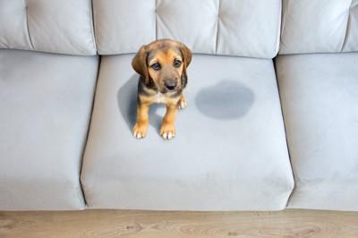 ソファーでおしっこをした子犬