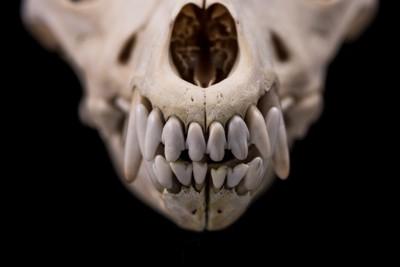 歯がメインの骨格標本