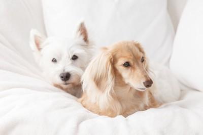 布団の上で一緒にくつろぐ2匹の犬